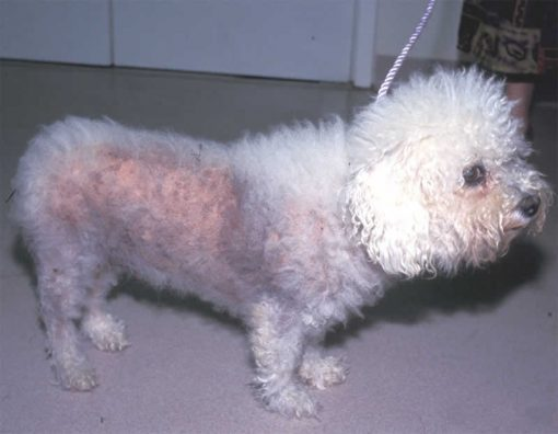 bichon frise with alopecia vet cpd