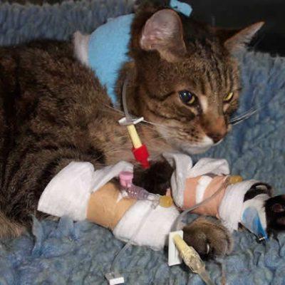 cat in vet hospital