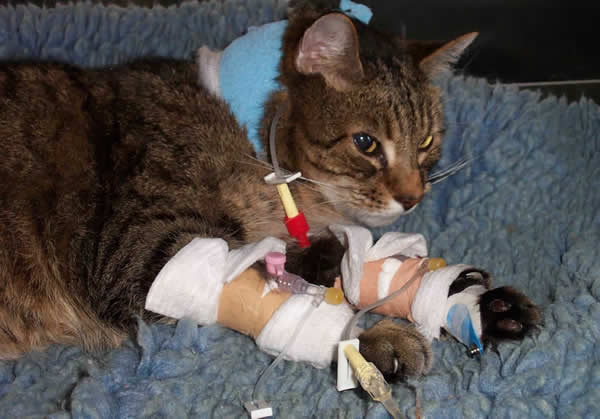 cat in hospital with drips